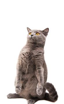 British shorthair grey cat isolated