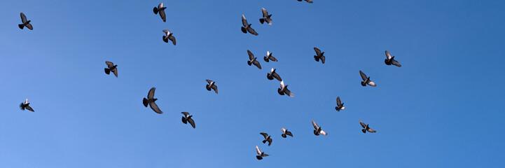 Flock of pigeons flying against blue sky 青空を飛ぶ鳩の群れ
