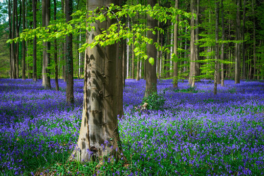 Fresh green leaves on a beech in a sea of blue bells