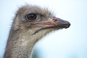 Portrait of ostrich bird head.