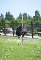 Ostrich in the paddock on the farm.