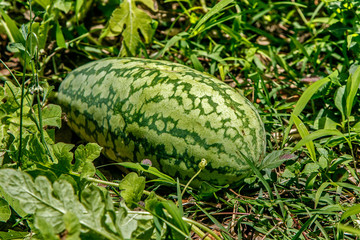 Elongated watermelon on the vine on the ground still growing.