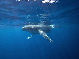humpback whale, megaptera novaeangliae, Tonga, Vava'u island
