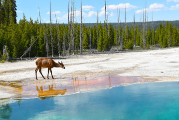 Elk at Hot Spring