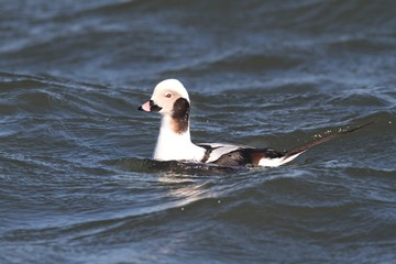 Fotoväggar - Long-tailed Duck (Oldsquaw)