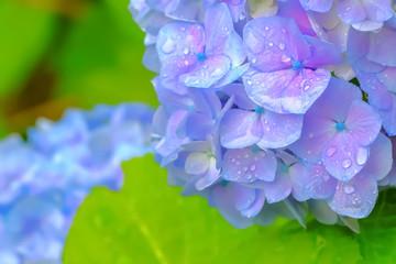 Fond de hotte en verre imprimé Hortensia 雨上がりの紫陽花 Hydrangea