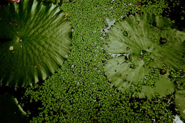 Texture and background of green lotus leaf and green moss.