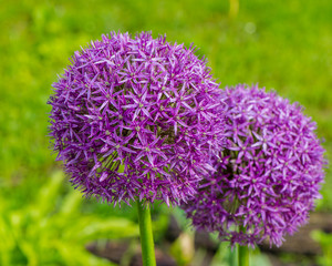 Flowering decorative garlic