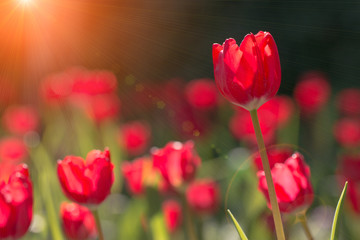 Wall Mural - Beautiful Tulip flower in the morning