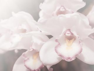 Wall Mural - Soft of image Orchid flower