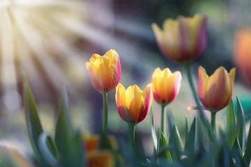 Fototapete - Tulip flower in the garden at sunrise