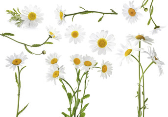 Poster Madeliefjes Collage of beautiful chamomile flowers on white background