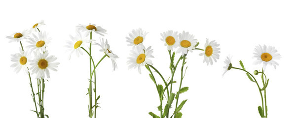 Collage of beautiful chamomile flowers on white background