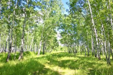 Photo sur Plexiglas Bosquet de bouleaux birch forest