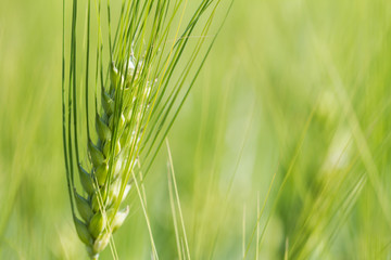 Green wheat field in sunny day. Spikelets of rye are growing in a farm field.