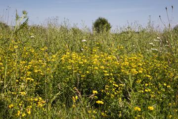 Feld mit Hornklee, (Lotus), Nordrhein-Westfalen, Deutschland