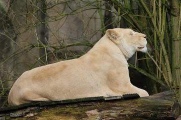 white female lion