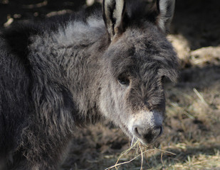 Dwarf donkey