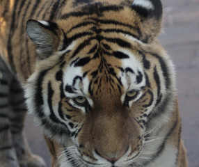 The Siberian tiger (Panthera tigris altaica)
