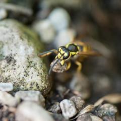 Wespe bei Erdloch