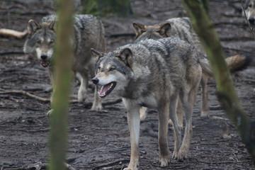 De Europese wolf (Canis lupus lupus)