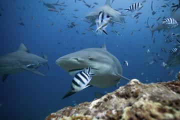 bull shark, carcharhinus leucas, Beqa lagoon, Fiji