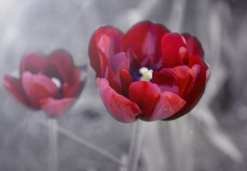 Colorful red tulip