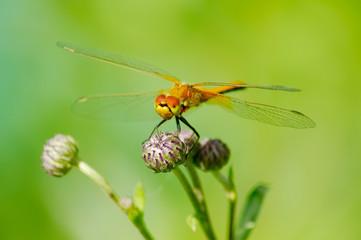 Summer dragonfly on flower bud