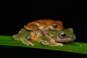 Frog Maiting in Borneo , Close-up of Frog Maiting ,  Borneo Masked tree frog on maiting