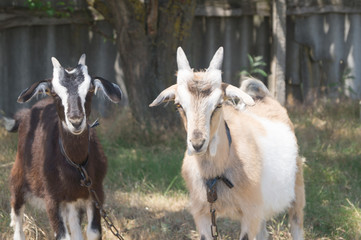 White- beige and brown goats graze on the meadow