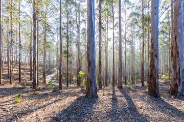 eucalyptus forest plantation