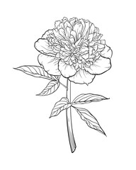 beautiful monochrome black and white peony isolated on background. Hand-drawn.