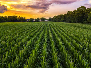 corn fields and sunset