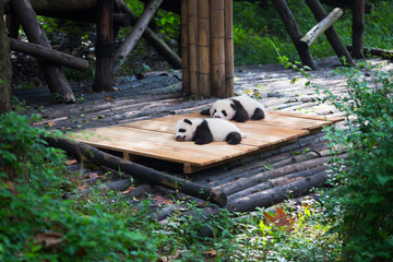 Newborn baby pandas lying down in the forest