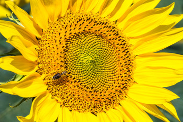 Sonnenblume, Nahaufnahme