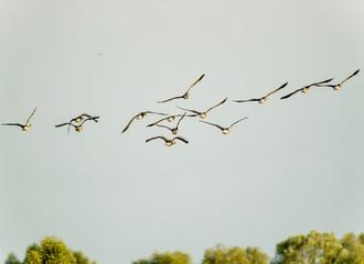 Gänse fliegen am blauen Himmel