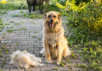A big fluffy happy dog is sitting after shedding their wool outdoors.