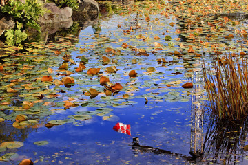 Lily Pads Canadian Flag Leaves Water Reflection Fall Colors Vancouver Canada