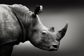Highly alerted rhinoceros monochrome portrait. Fine art, South Africa. Ceratotherium simum