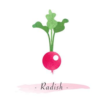 Colorful watercolor texture vector healthy vegetable radish