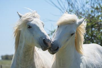 White camargue horse kissing, love