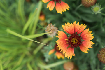 Brightly colored orange and yellow gaillardia
