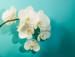 Italy,8 July 2017,White orchid on a turquoise background