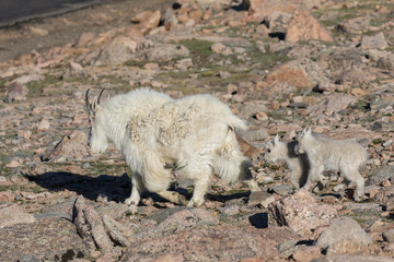 Mountain Goat Nanny and Cute Kids