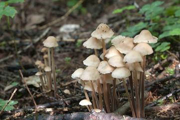 Mushrooms Gymnopus confluens