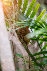 Tarsier Bohol, Philippines, closeup portrait, sits on a tree in the jungle.