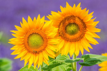 Blooming sunflowers with the field of lavender in the background