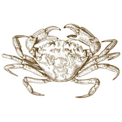 engraving illustration of crab