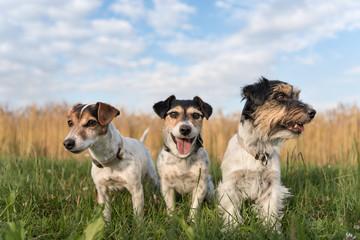 3 Hunde im Spätsommer - Jack Russell Terrier