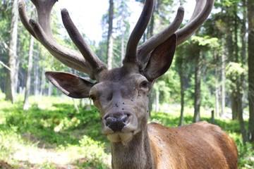 Closeup photo of european deer with antler.